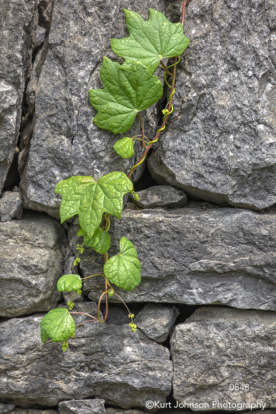 gray stone wall green ivy leaves close up detail leaf