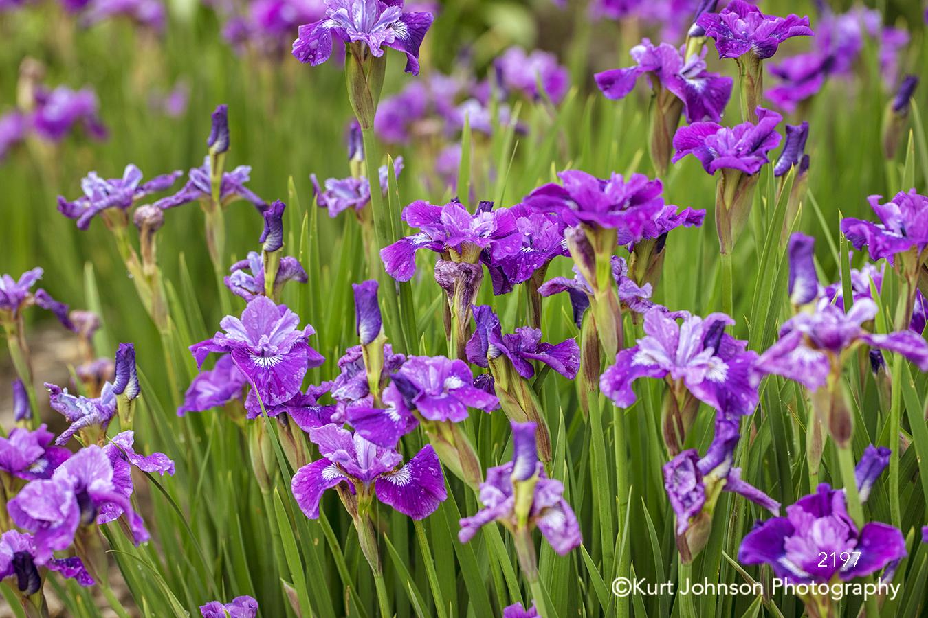 purple green grass flower flowers field lavender violet iris wildflowers