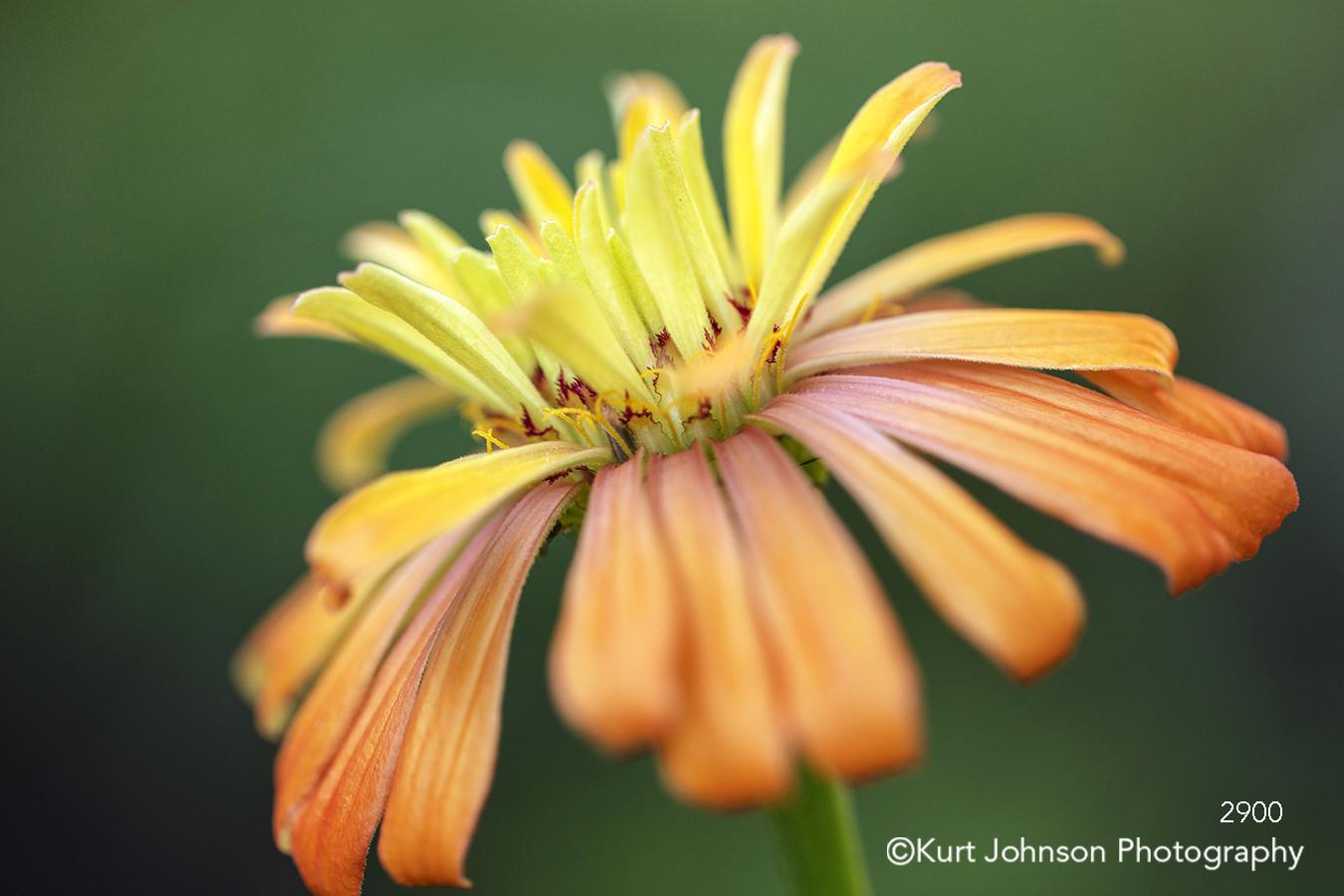 yellow orange flower petal petals close up macro detail contemporary green