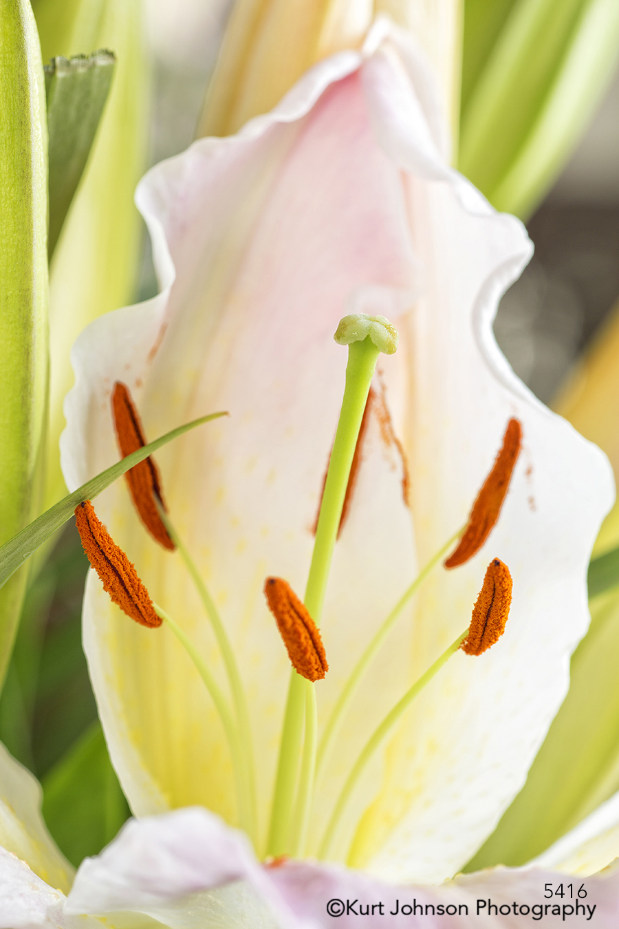 lily stamen close up detail macro yellow pink green grass flower lines contemporary