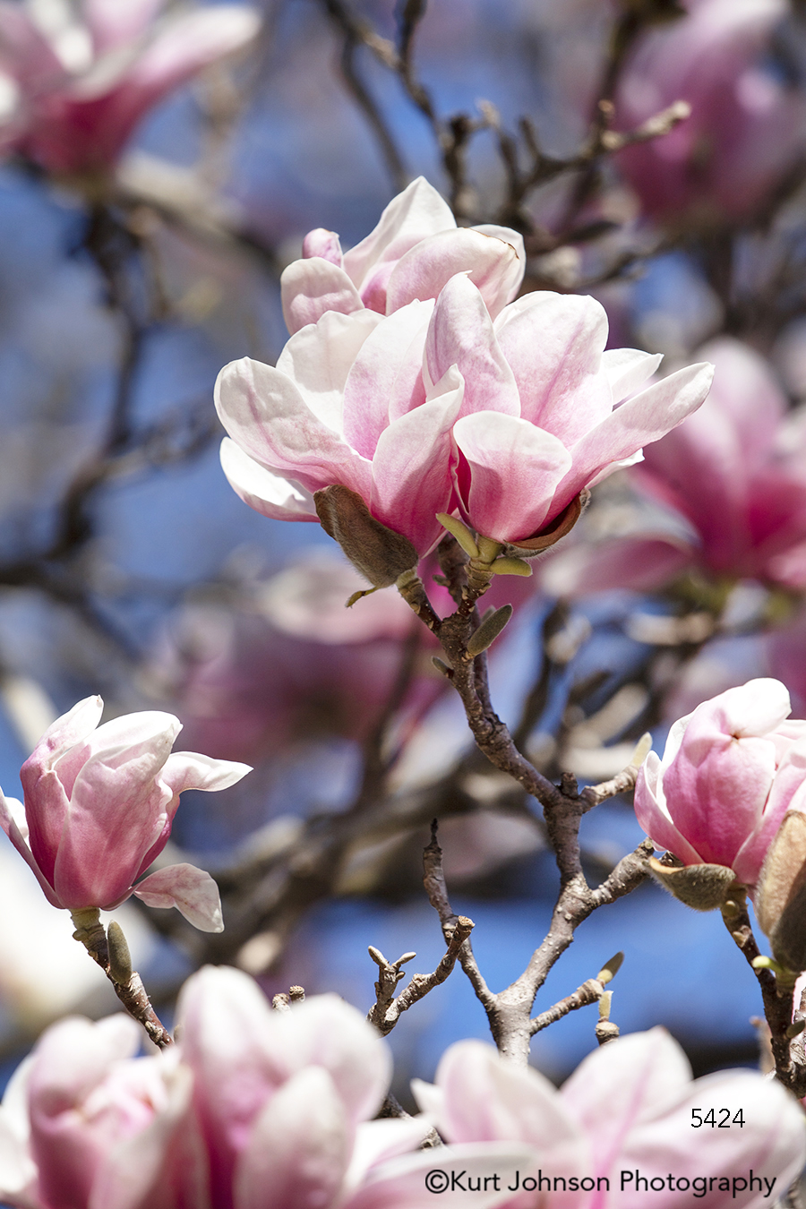 pink cherry blossom spring blossoms branches bloom tree branch branches close up macro detail flower flowers