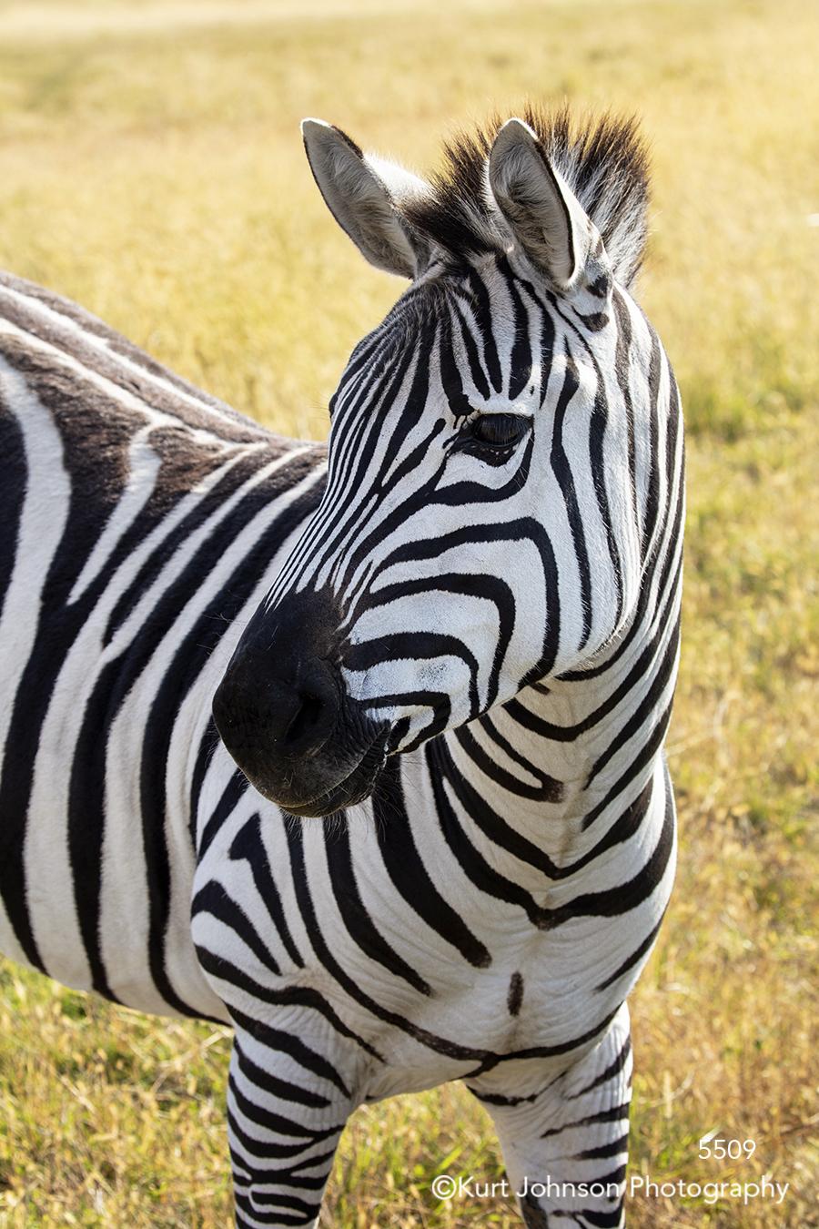 zebra animal wildlife children's art children black white stripes cute