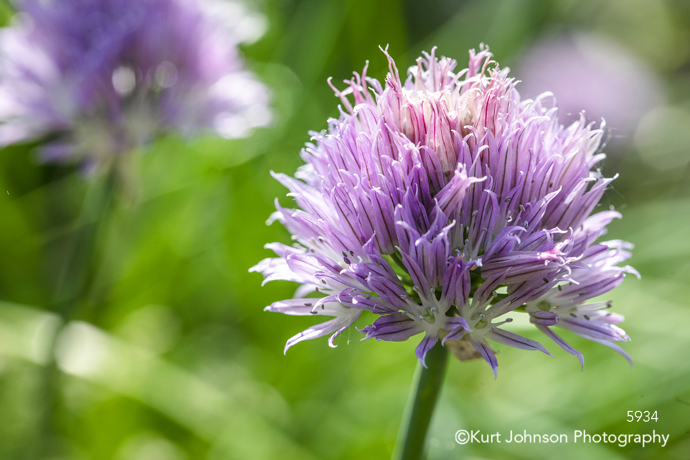 purple flower wildflower chive chives lavender close up green grass field herb