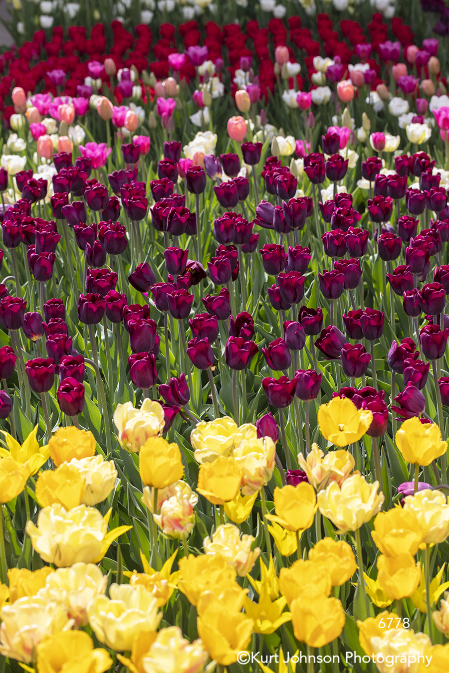 yellow purple red pink tulip tulips field spring flowers flower green grass leaves bright happy colorful