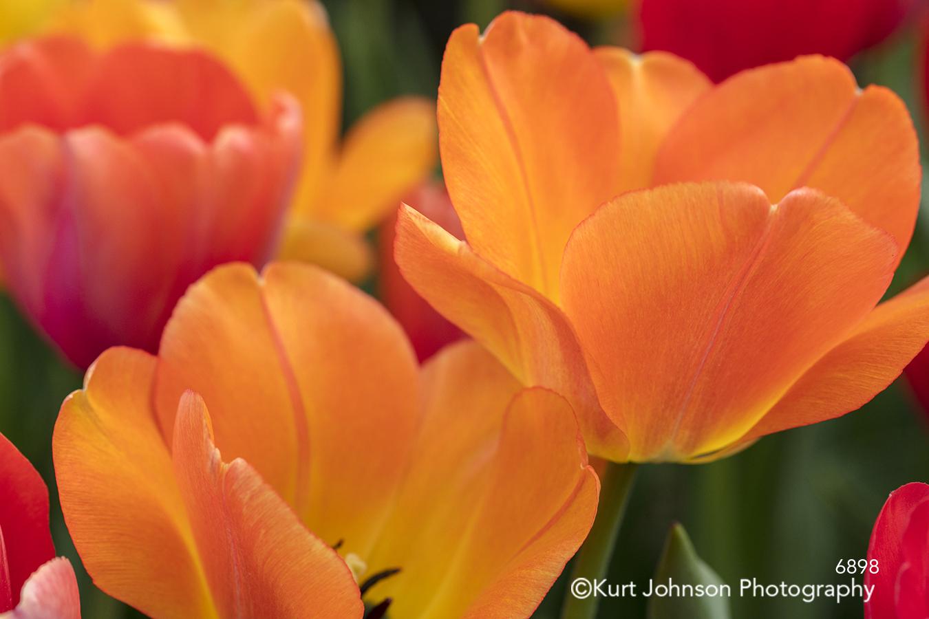 orange bright happy colorful spring tulips flower flowers