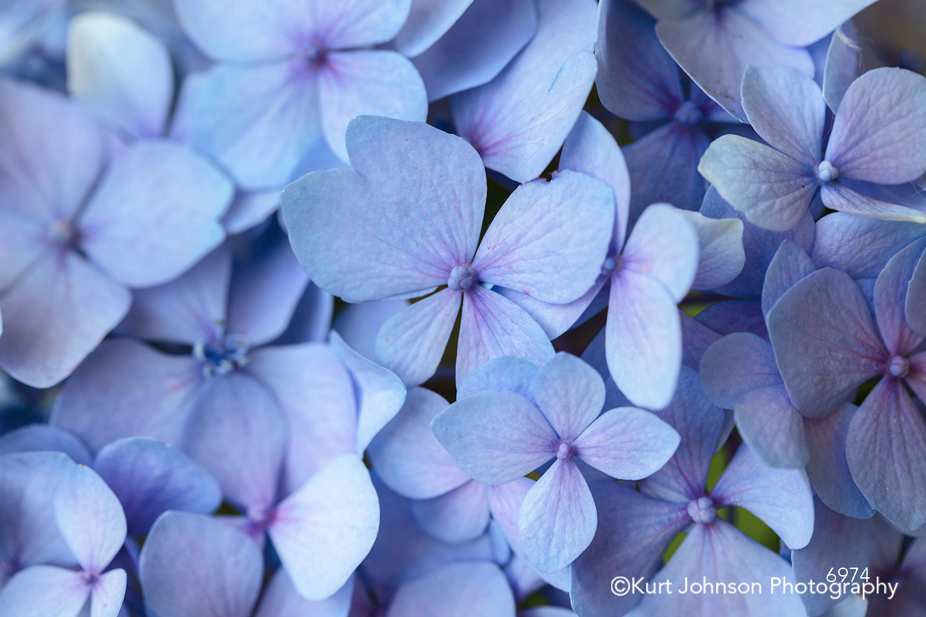 blue lavender purple hydrangea flower flowers petal petals close up macro detail pattern