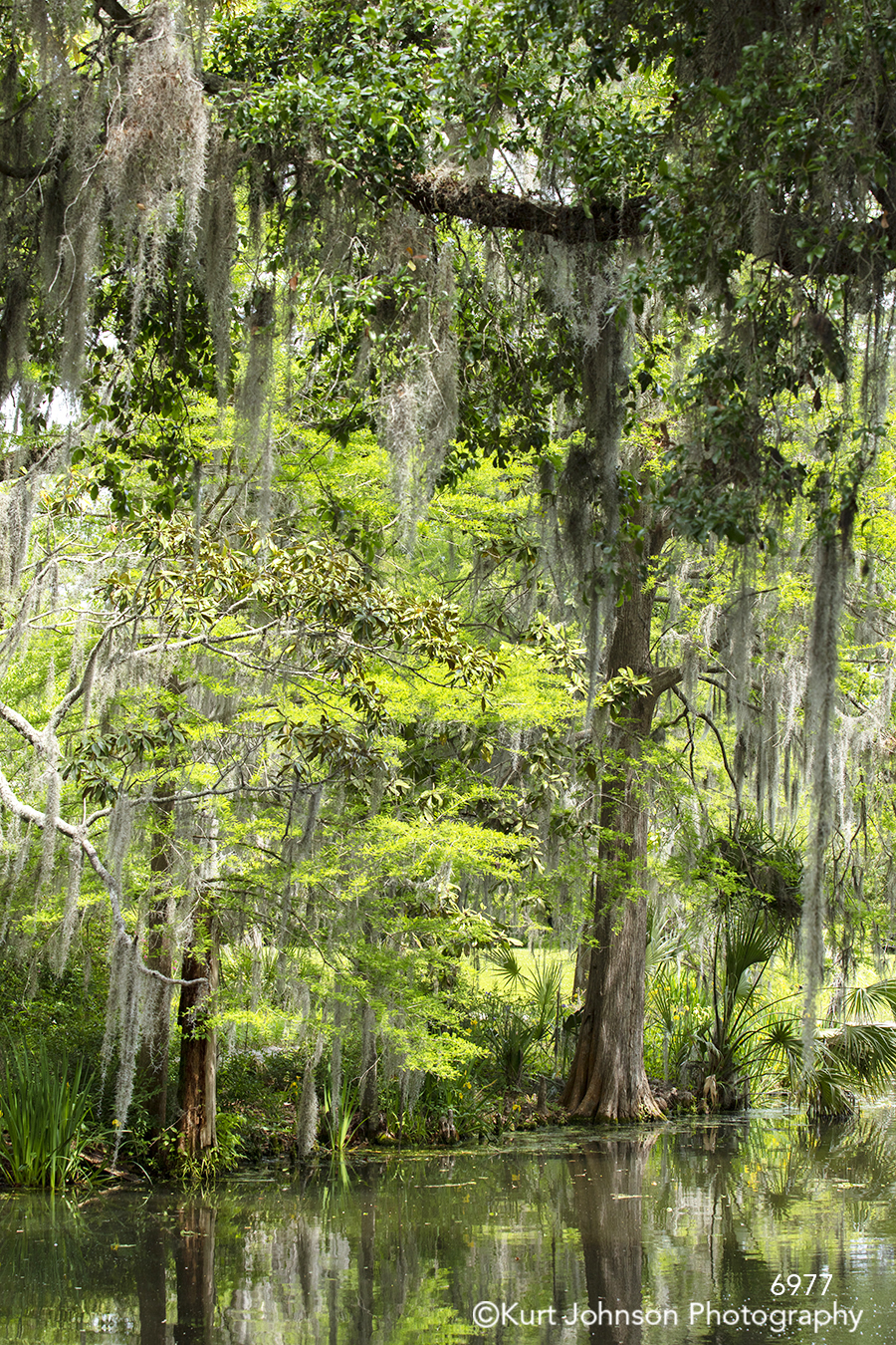 tall green trees branches tree water waterscape spanish moss south