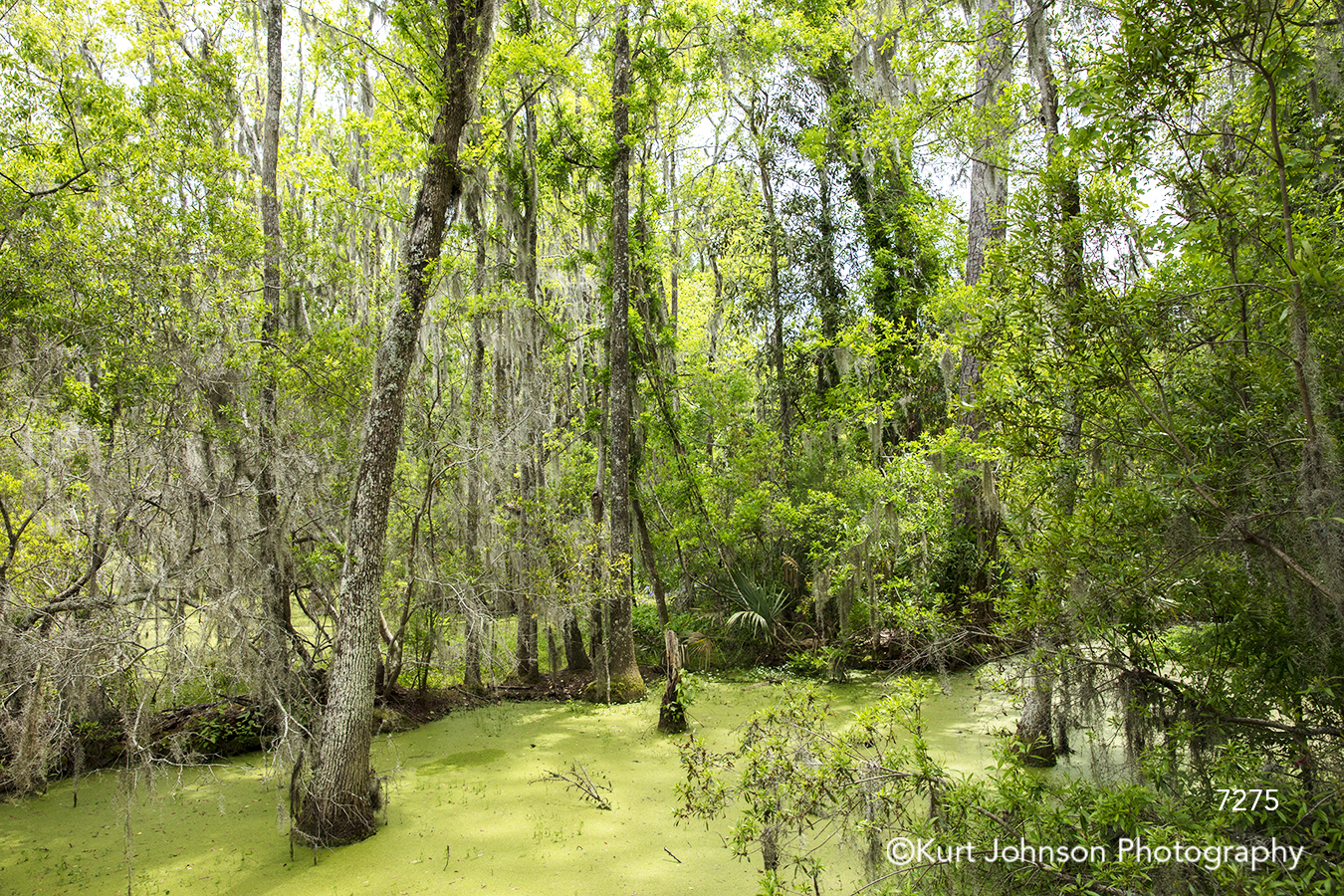 green tree trees tall branches forest water waterscape landscape south southeast spanish moss