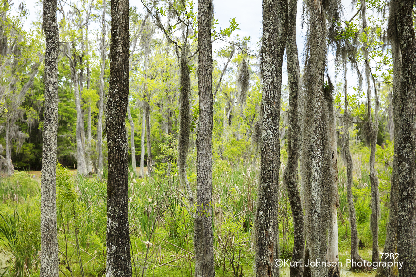 green tree trees tall branches forest landscape south southeast spanish moss