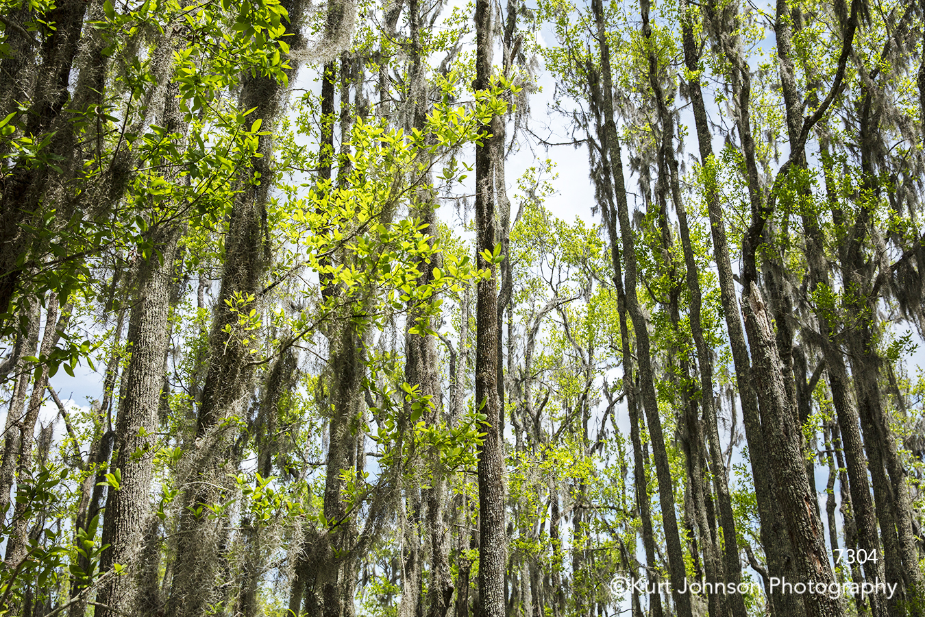 south southeast tall green tree trees branches forest spanish moss