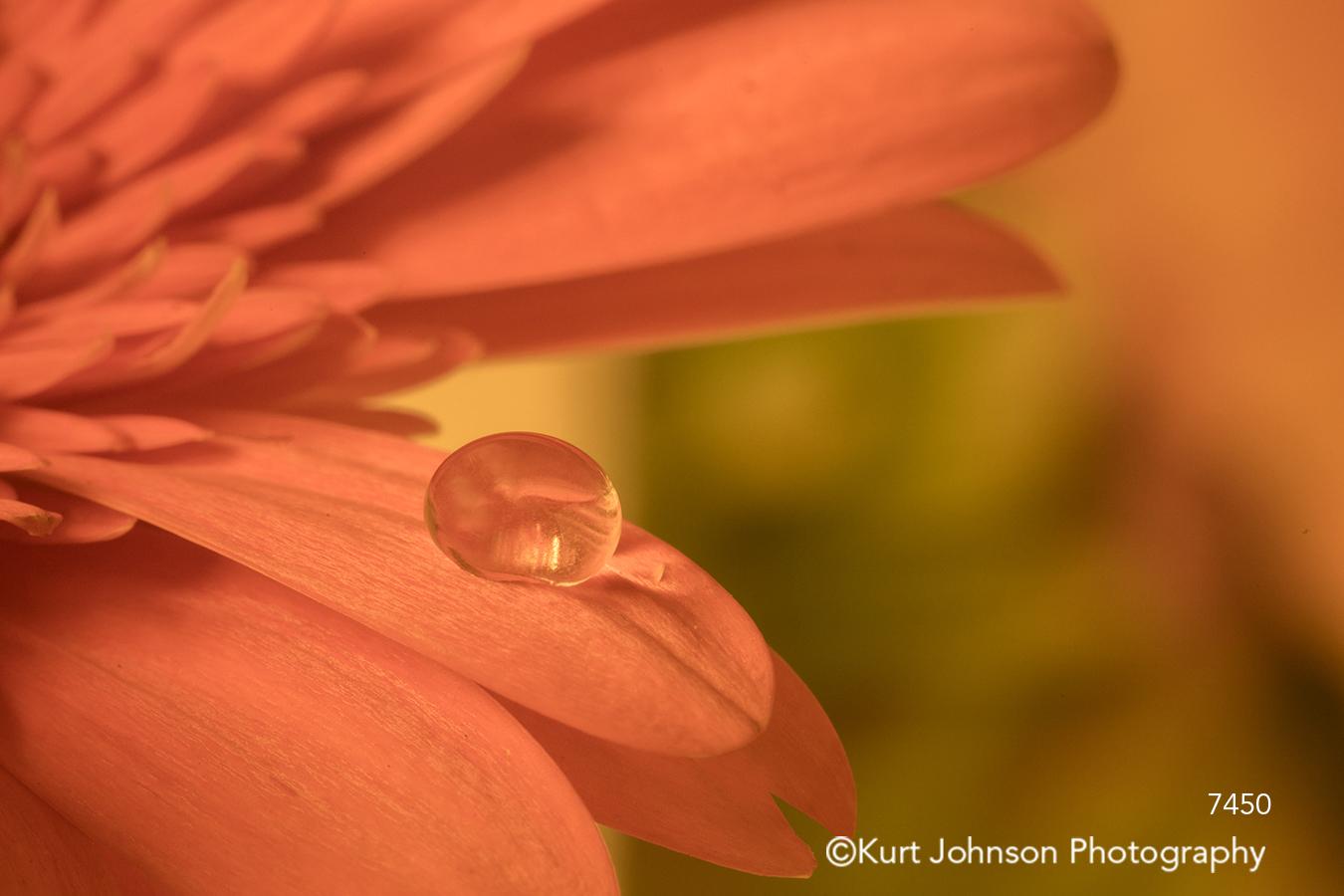 red flower close up detail petal petals water drop gerbera daisy colorful
