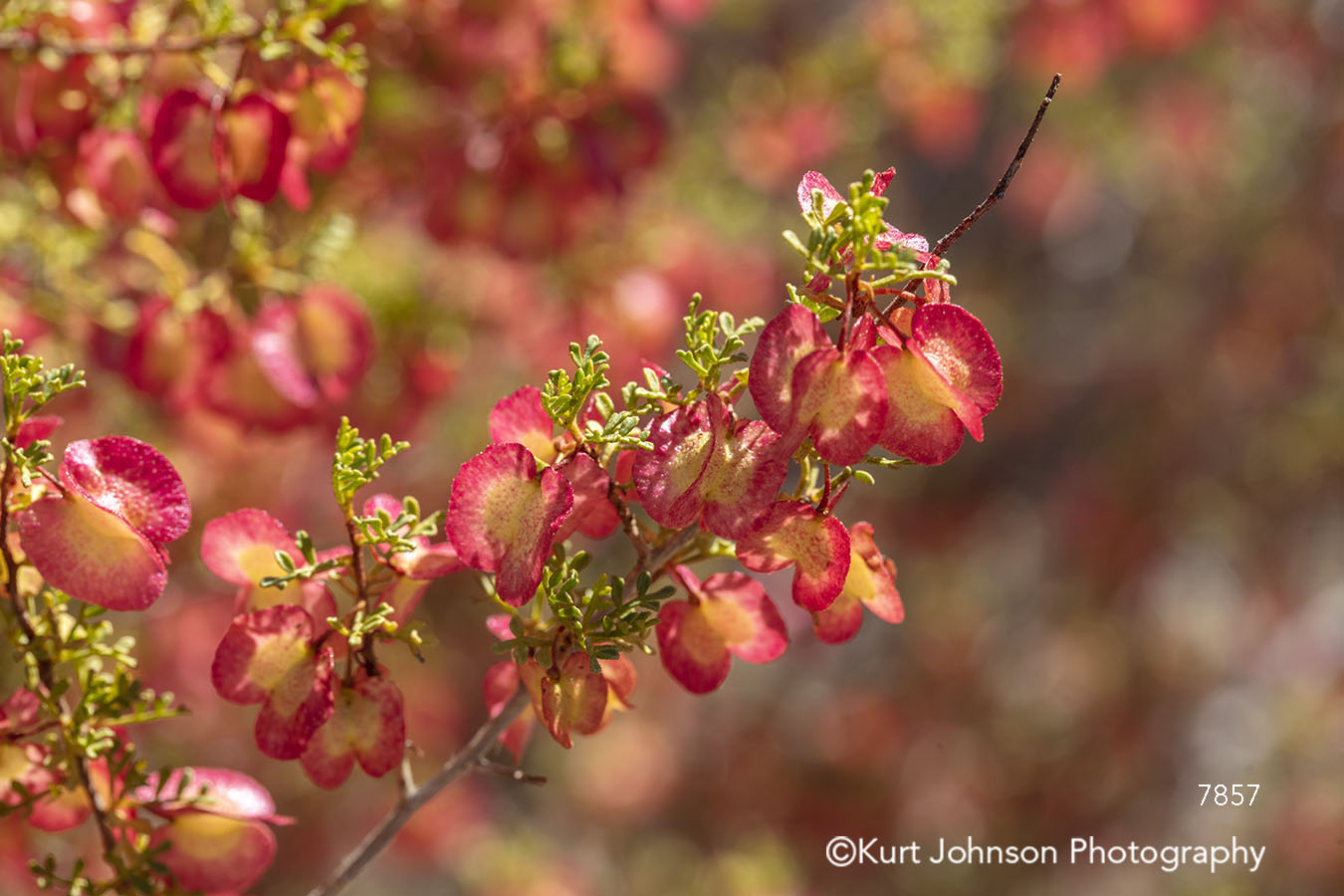 red spring bloom buds flowering tree blossom flower flowers branches