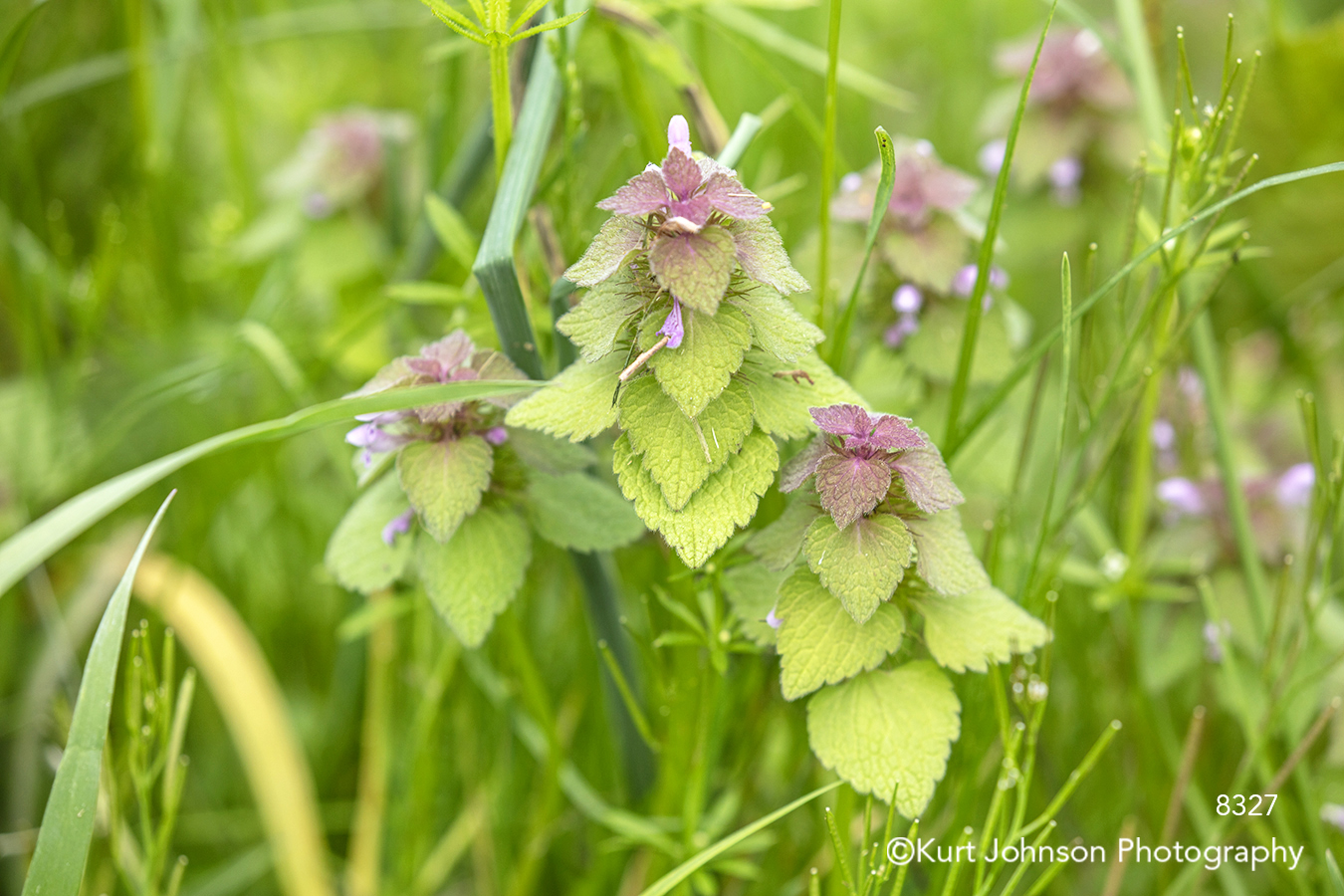 green pink purple grass grasses wildflowers flowers prairie