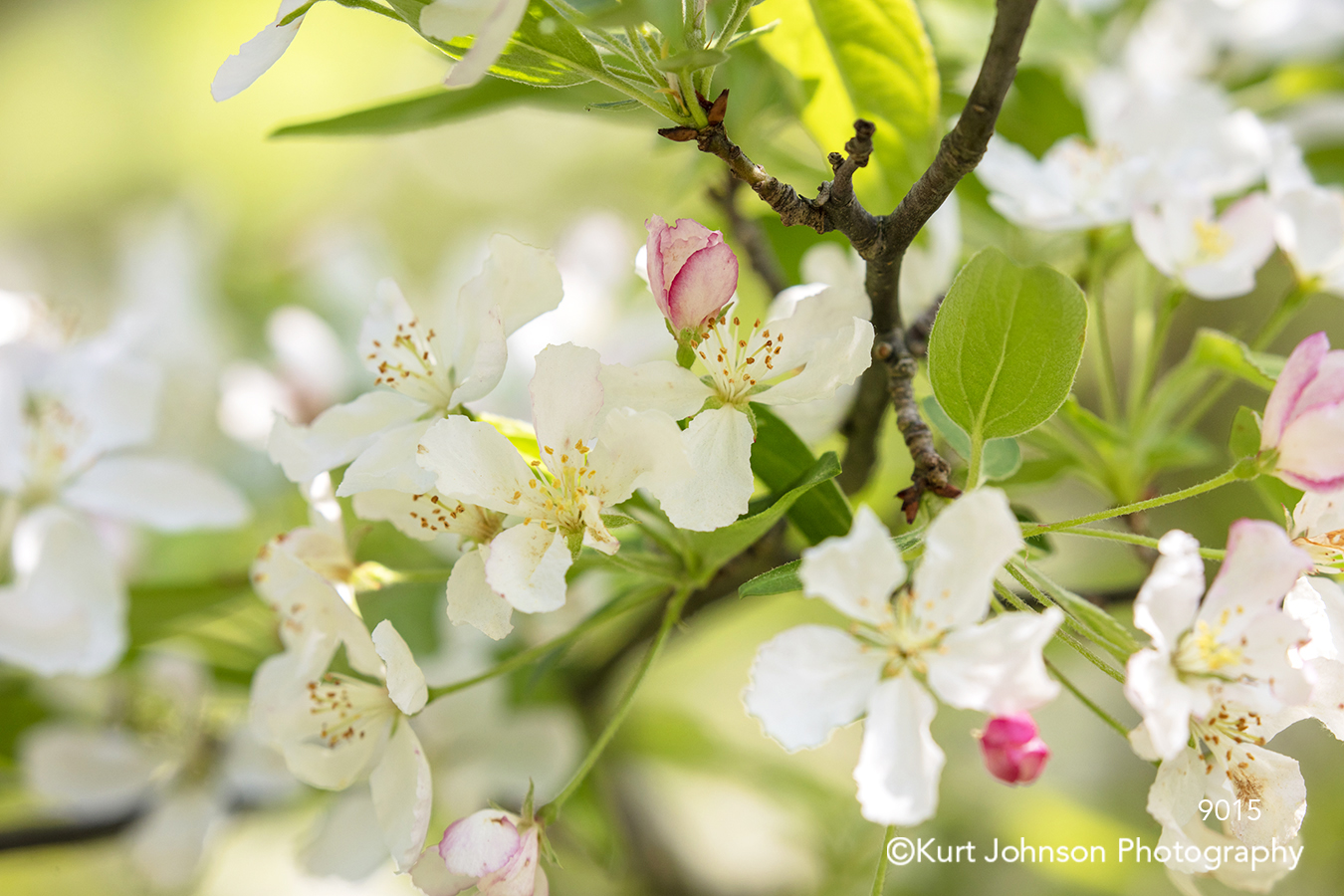 spring white pink flowering branch bud blooms tree green leaves flowers flower
