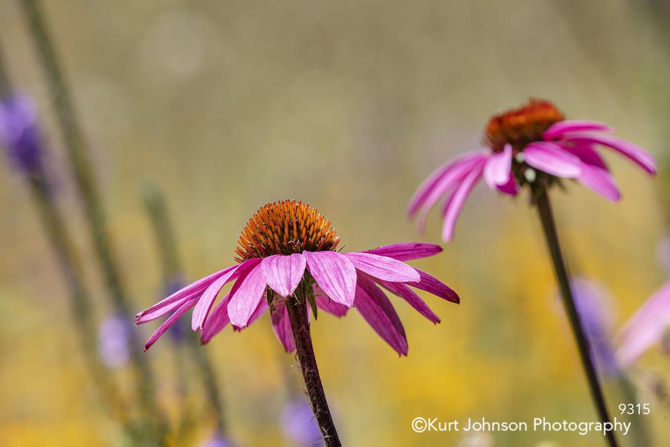 pink coneflower wildflowers flowers prairie flower wildflower midwest