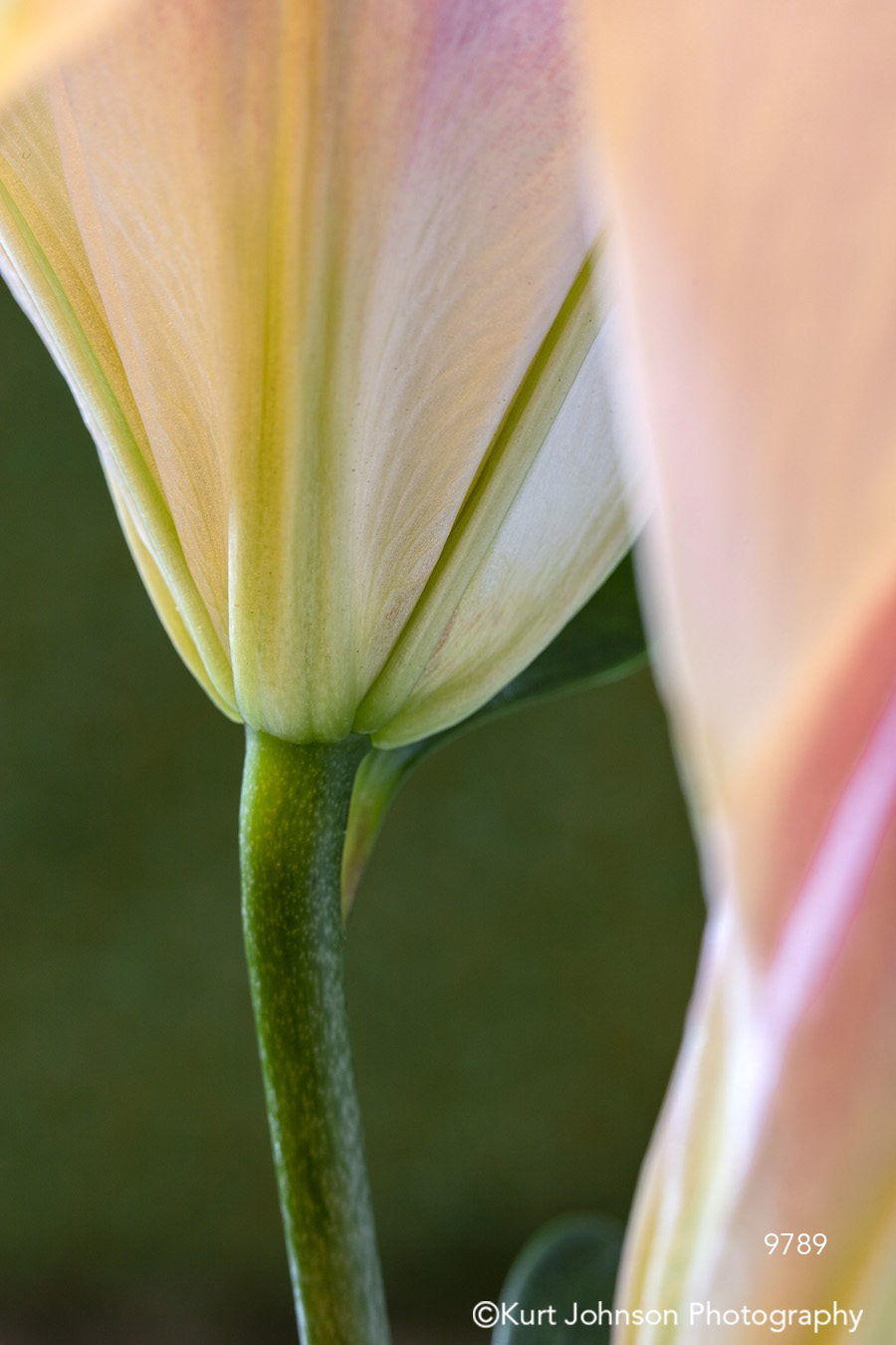 lily detail green stem delicate pink white flower flowers contemporary close up macro
