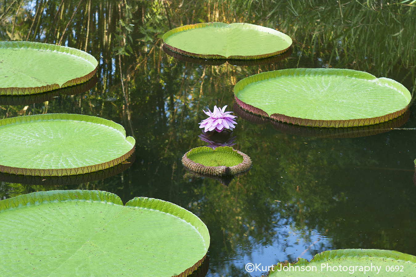 still calm water green lily pad pond waterscape pink flower