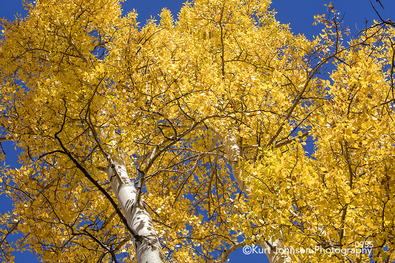 yellow trees blue sky forest tree autumn fall leaves branches