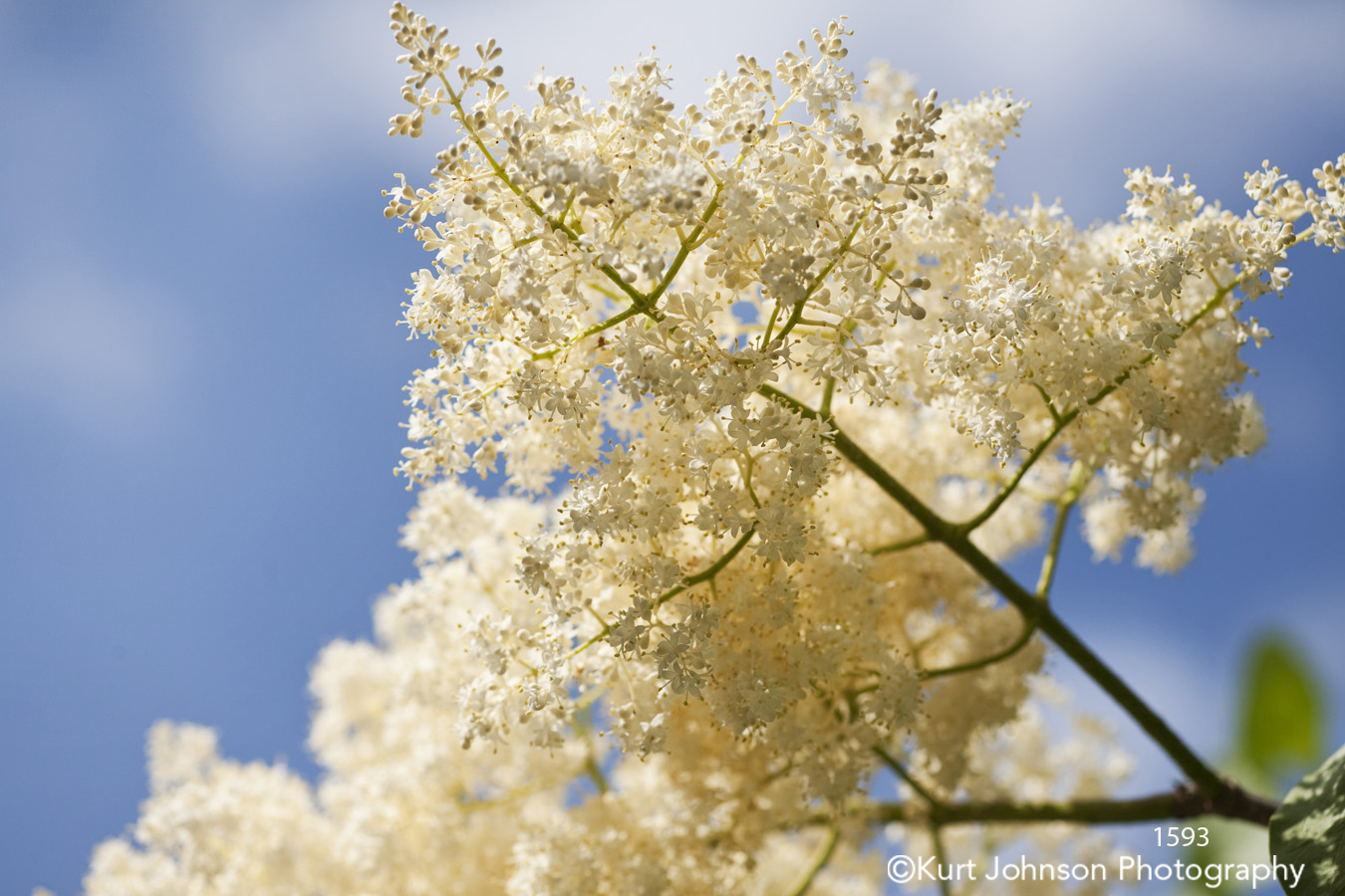 white grass grasses flower buds tree trees bloom close up macro detail blue sky