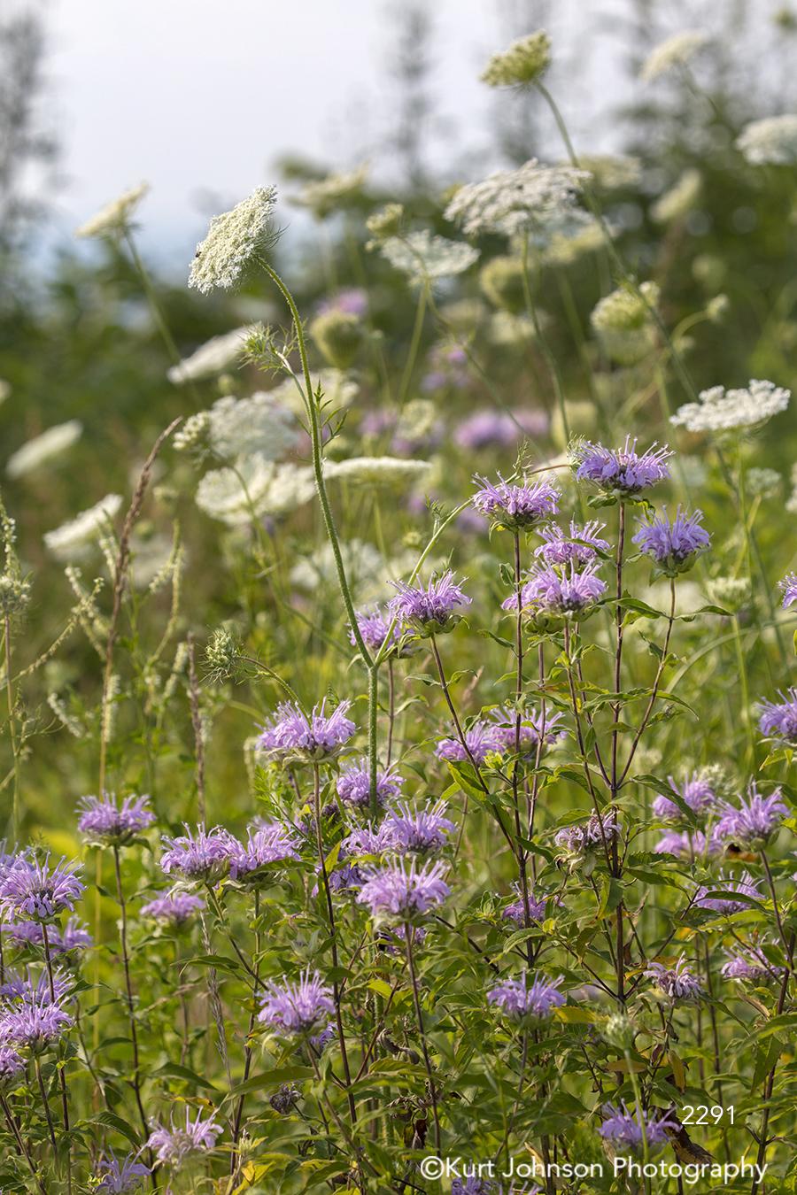 purple white flower flowers wildflowers green grass grasses field