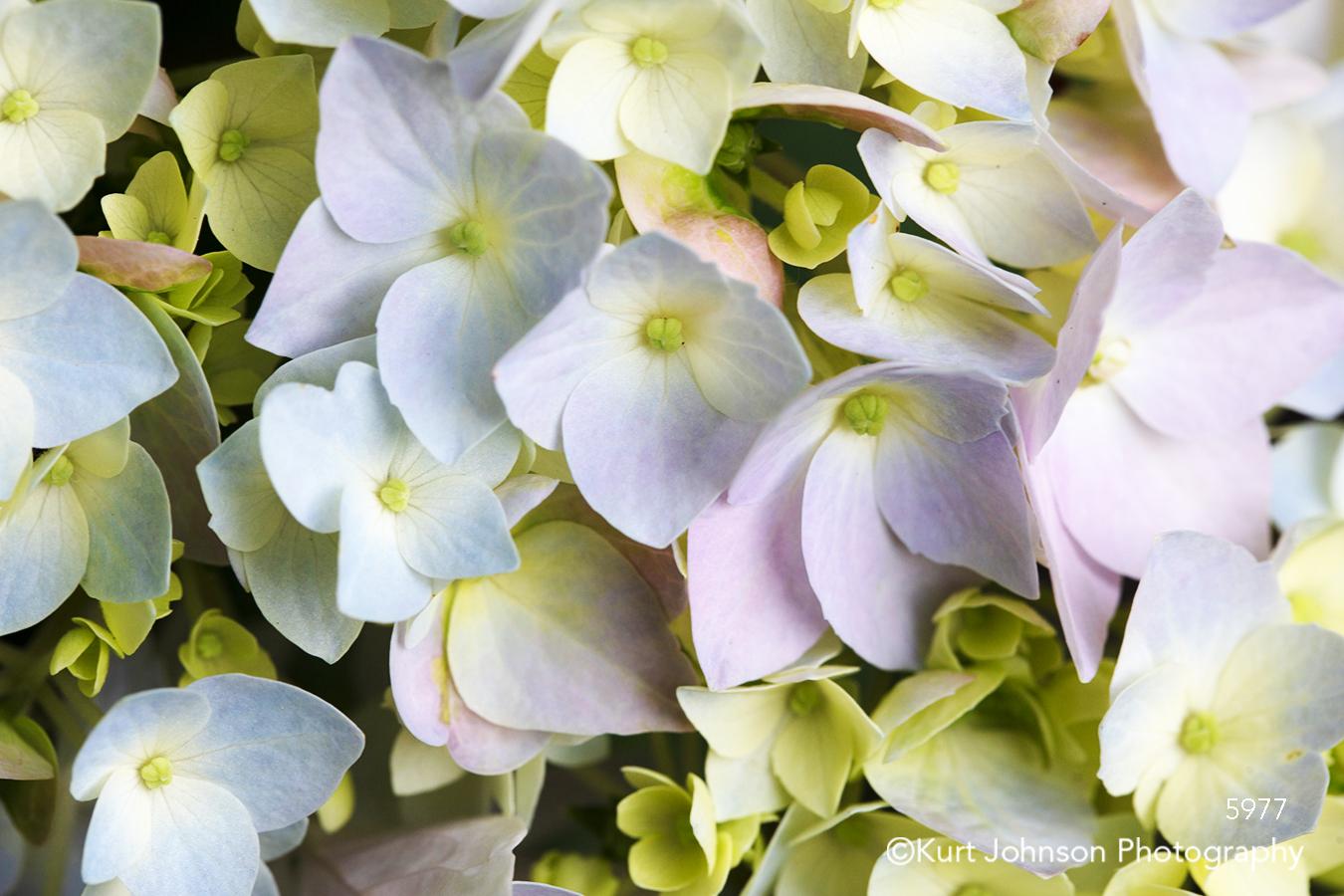 hydrangea flower petals close up detail flowers pastel pink purple blue white macro pattern
