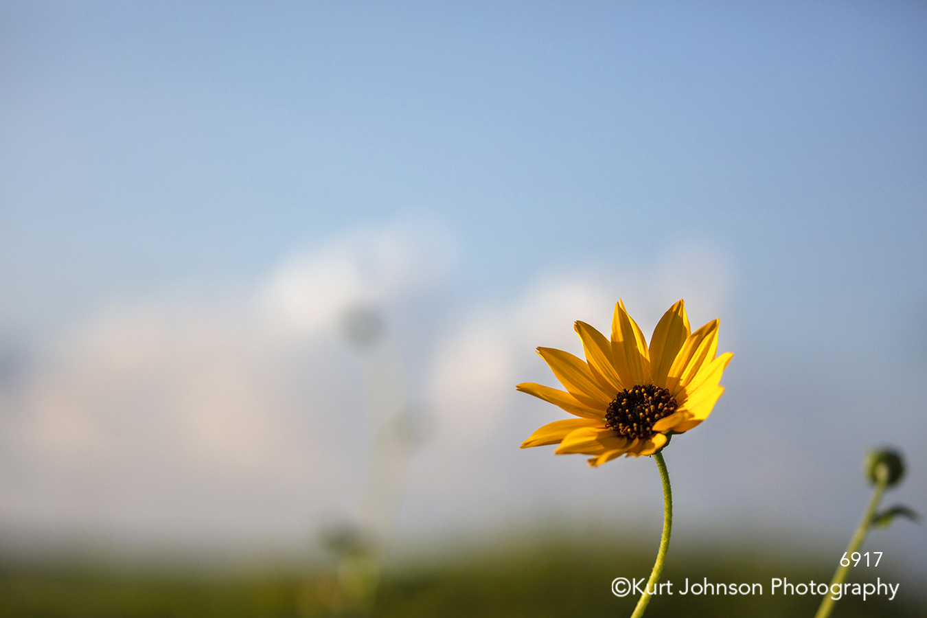 yellow flower close up detail blue sky green grass colorful happy wildflower