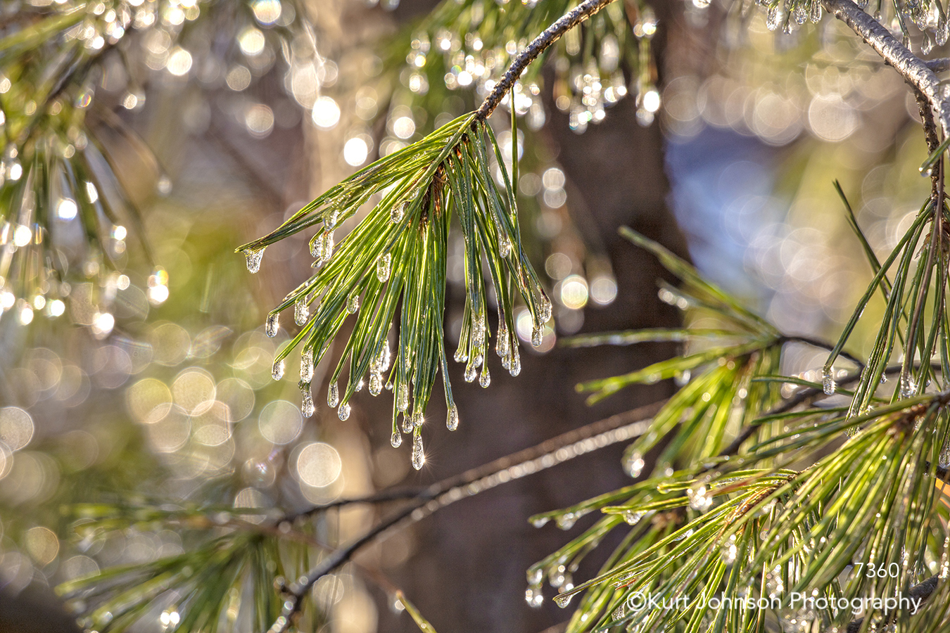 green pine needle needles tree branches trees water ice drops detail macro close up