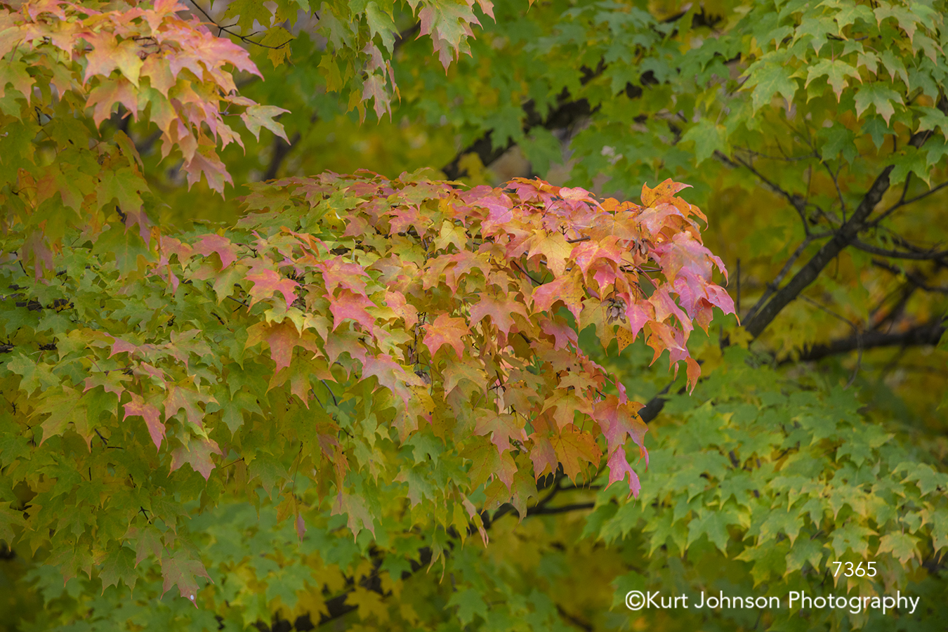 red green leaves tree trees branches autumn fall