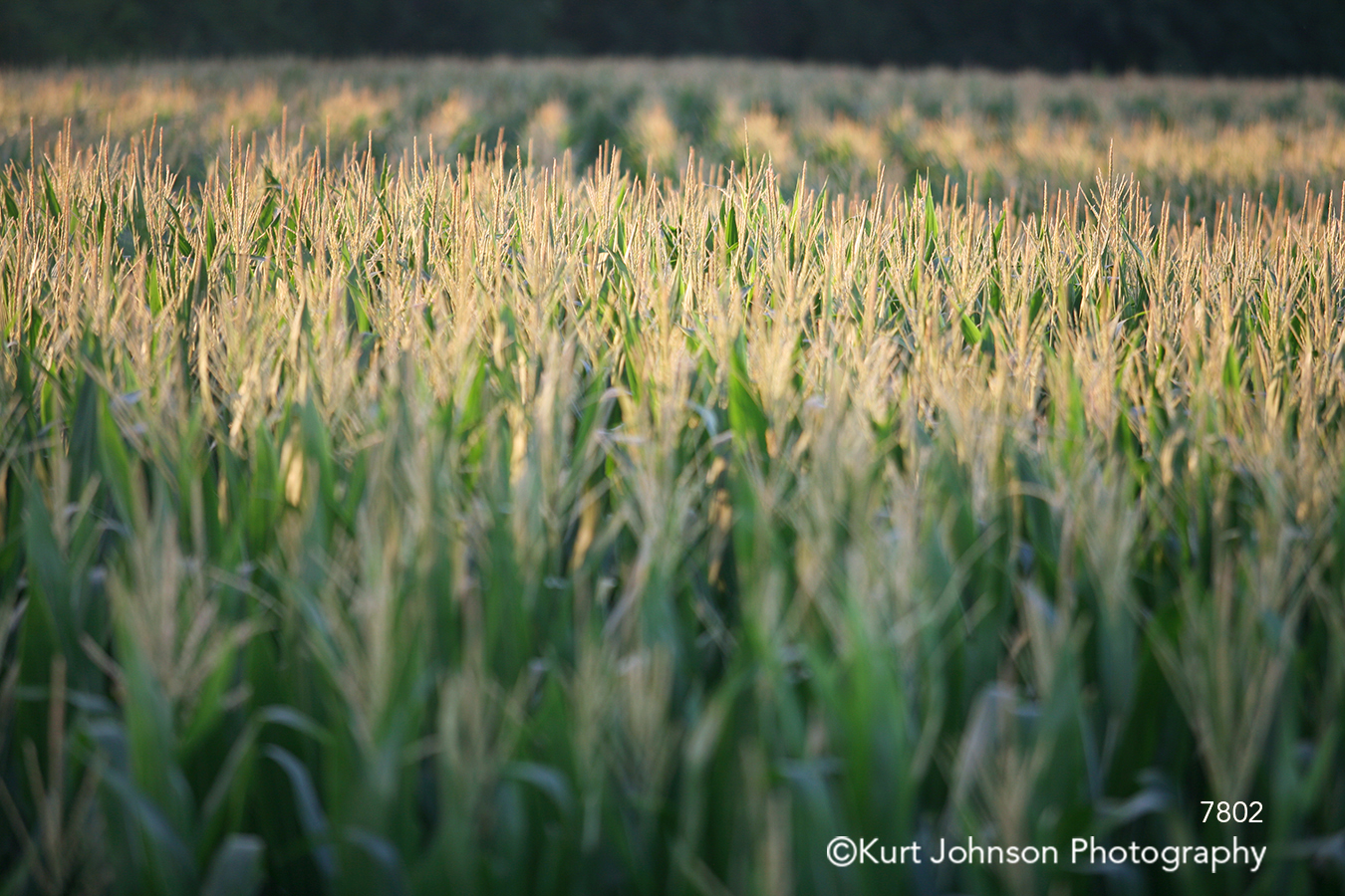 wheat field green grass grasses midwest lines pattern texture