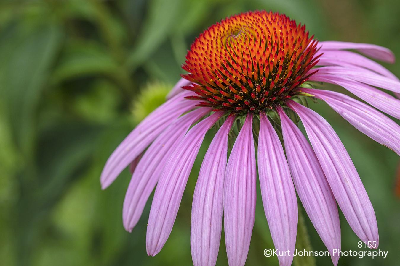 pink purple coneflower flower petal petals close up bright happy macro detail wildflower green grass orange