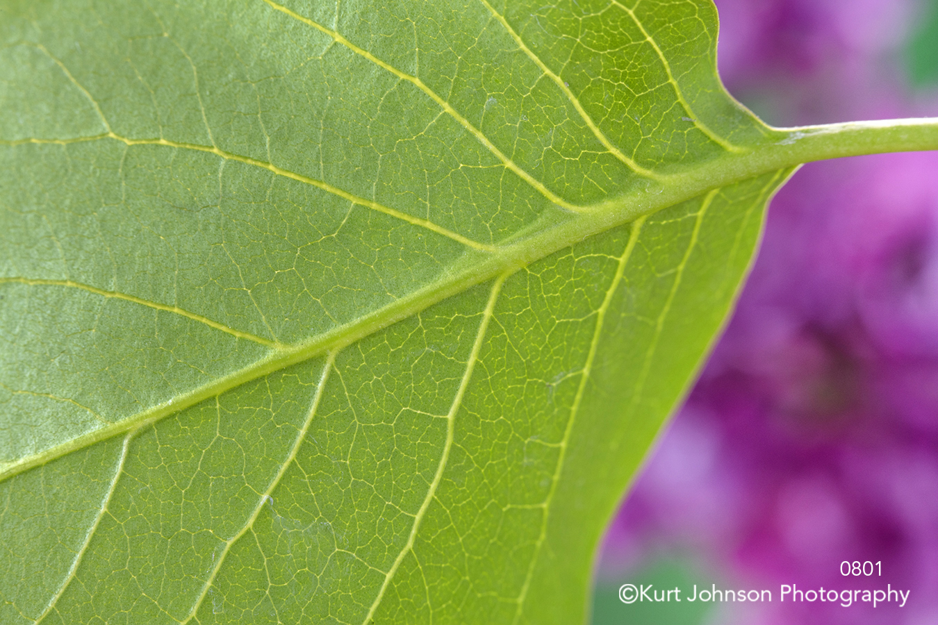 green leaf leaves lines close up details purple texture pattern