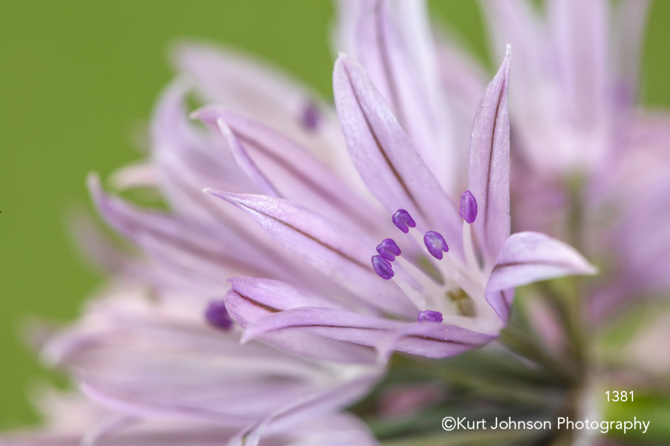 purple chive flower flowers close up detail macro chives herb