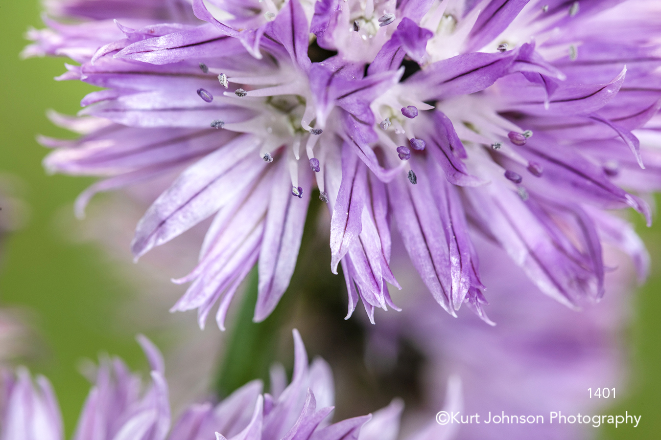 purple chive chives herb flower close up details macro flowers