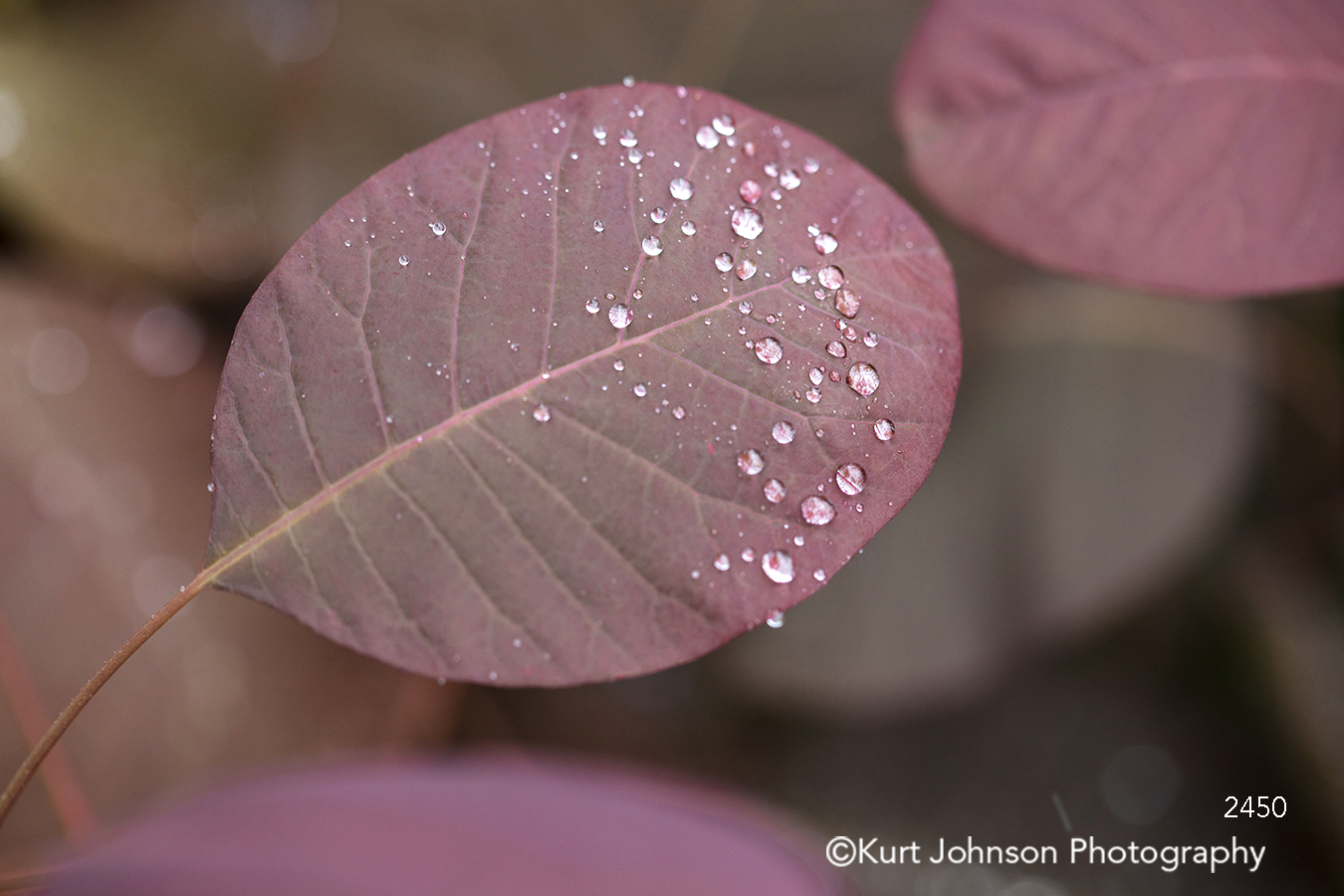 red purple leaf leaves water drops close up lines pattern texture tree