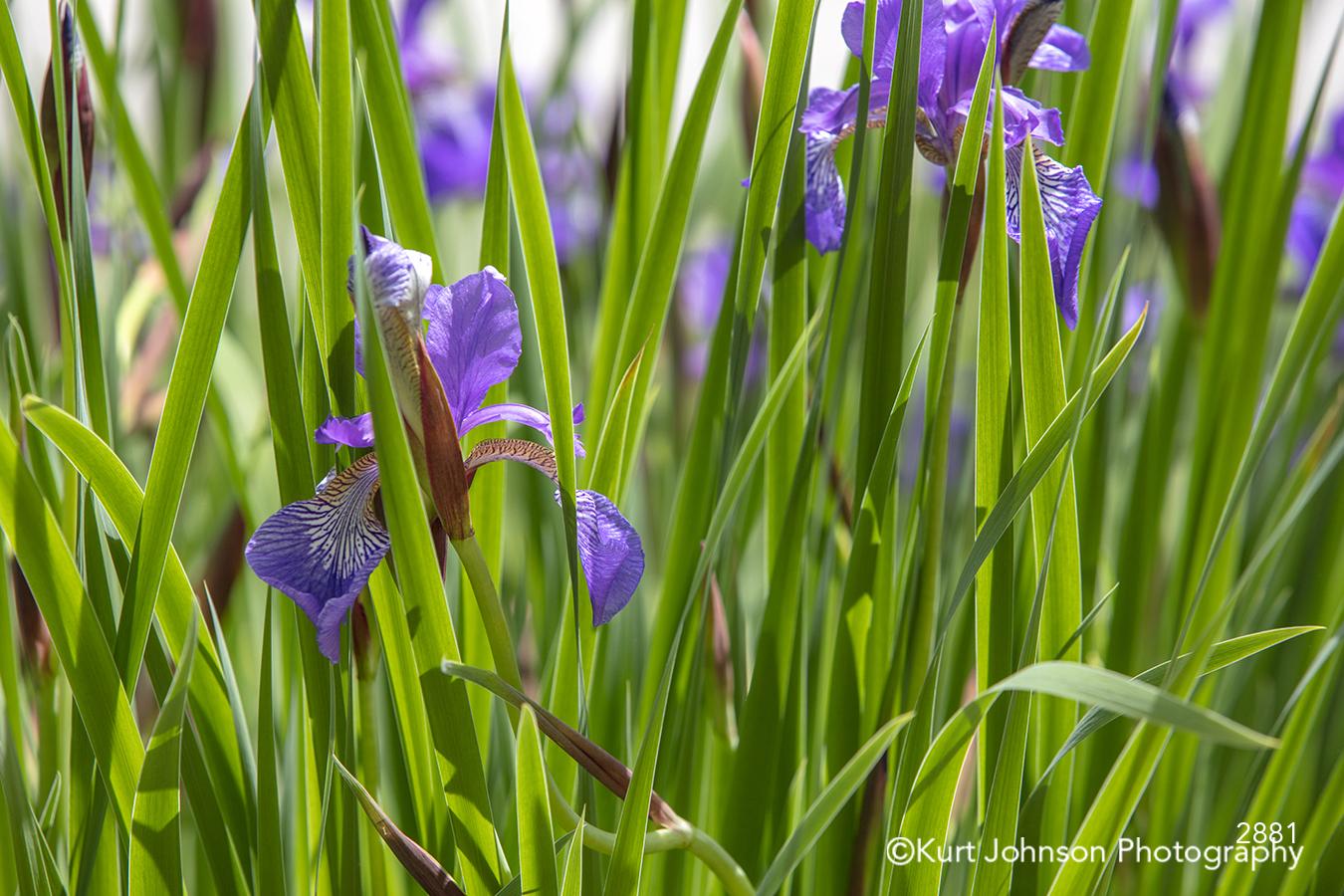 green grass grasses purple flower spring flowers iris field meadow