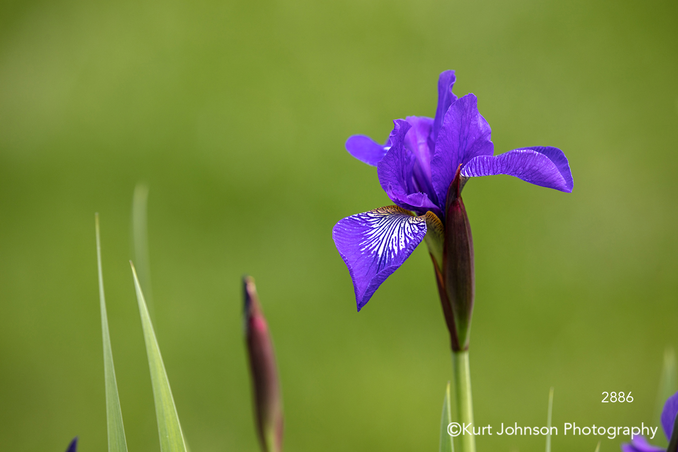 purple spring iris flower flowers green grass grasses field meadow