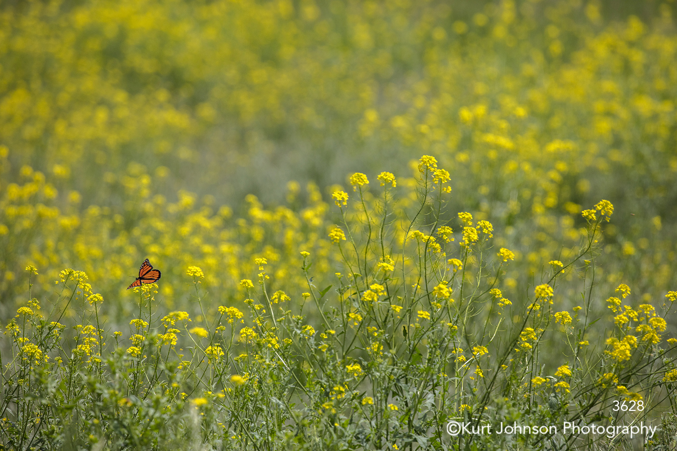 yellow grass grasses butterfly wildlife insect green meadow field landscape flowers
