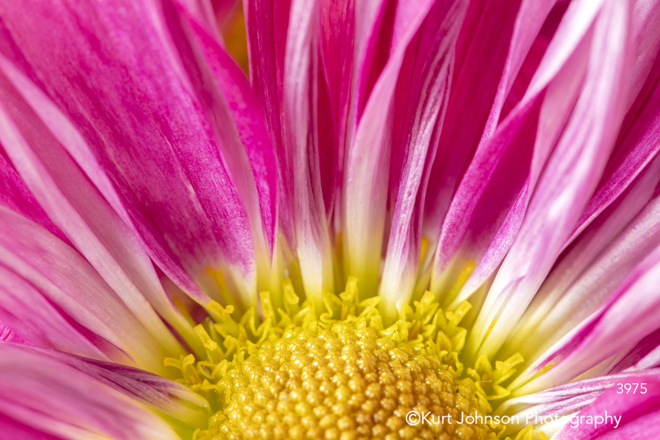 pink flower yellow flowers close up bright happy macro detail