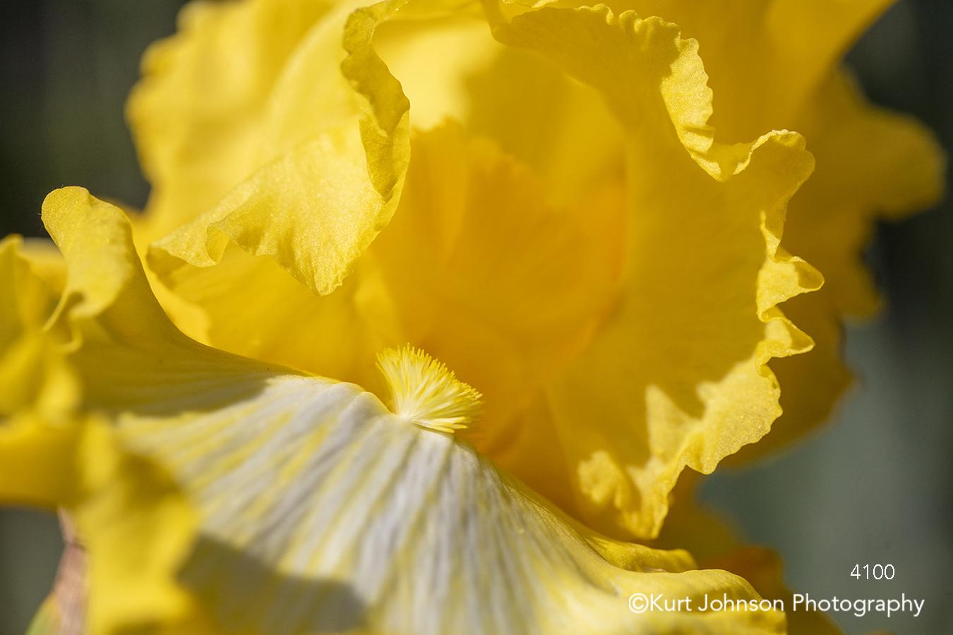 yellow flower flowers spring iris close up macro detail botanical