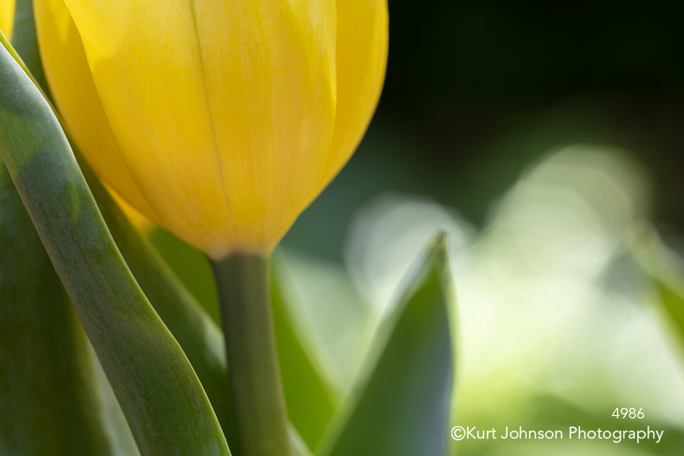yellow spring flower tulip tulips flowers close up detail macro