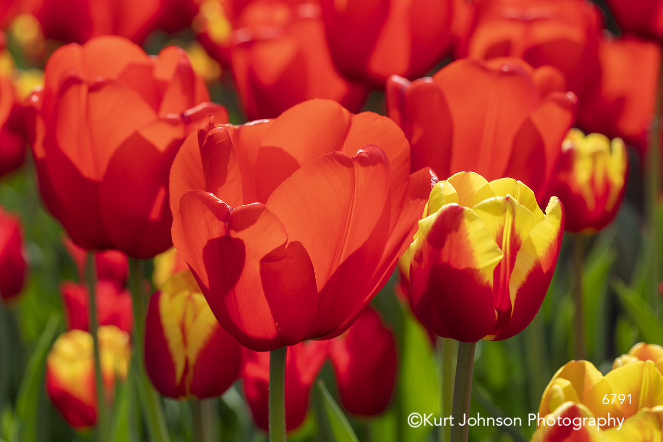 red yellow orange spring flower flowers close up field tulips meadow bright happy