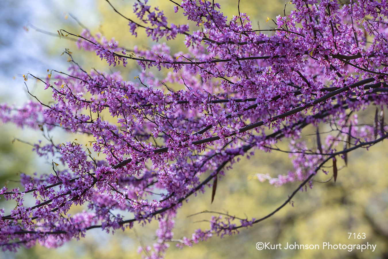 purple pink cherry blossom blooms tree branches spring trees