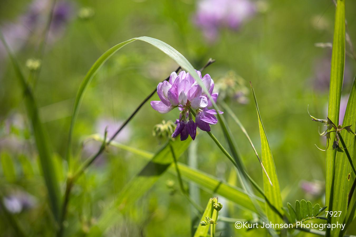 purple flower flowers green grass meadow field wildflower grasses