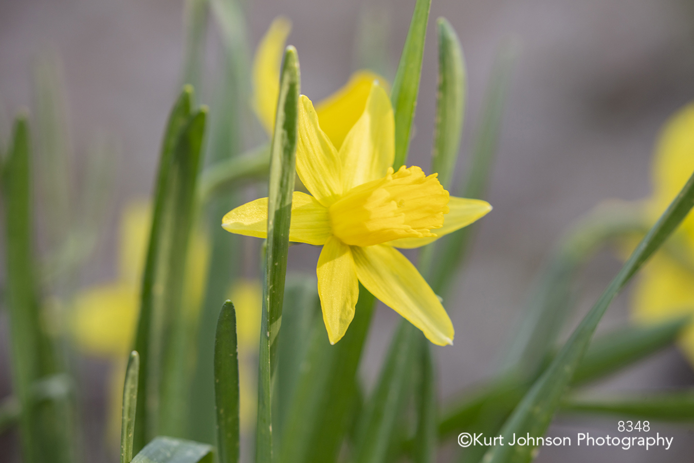 yellow spring flower daffodil green grass grasses flowers close up detail macro botanical