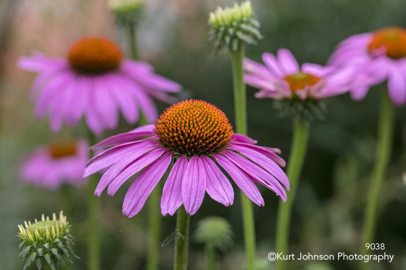 bright pink coneflower summer flowers happy flower conflowers green field meadow