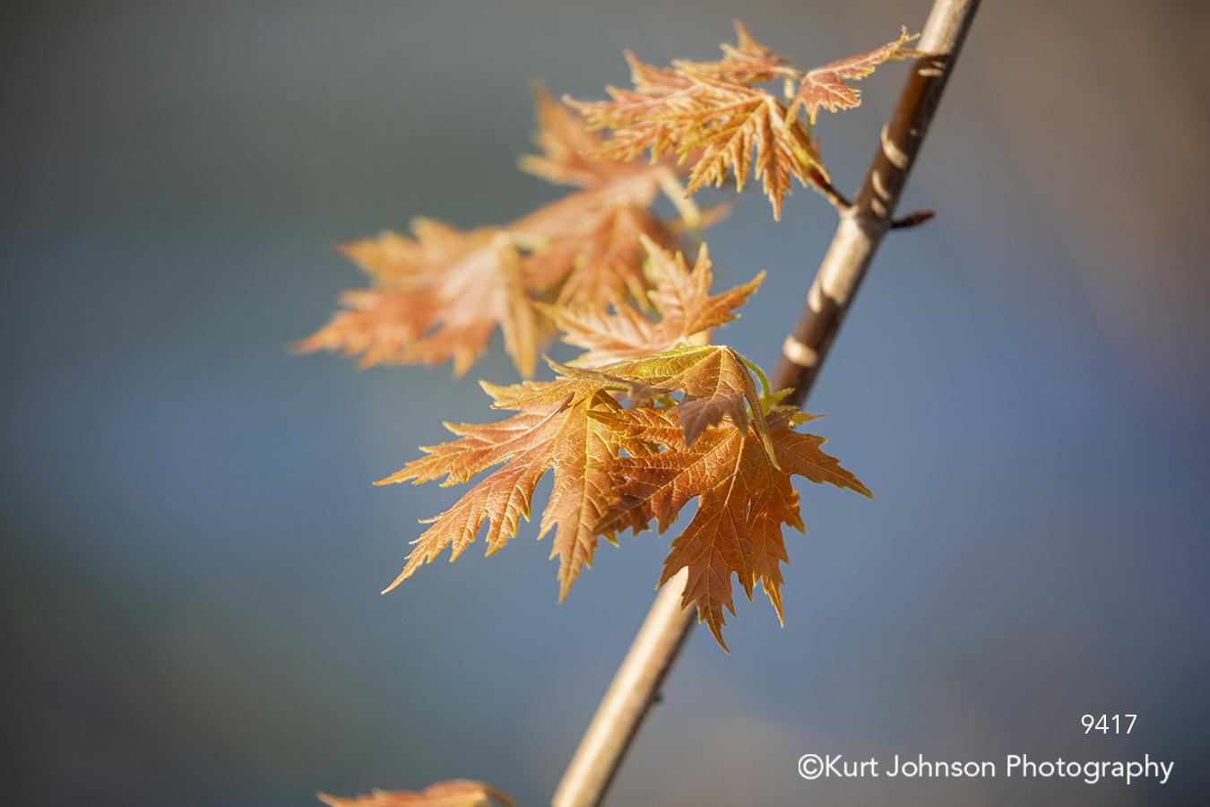 orange maple leaves branch tree close up detail autumn fall macro