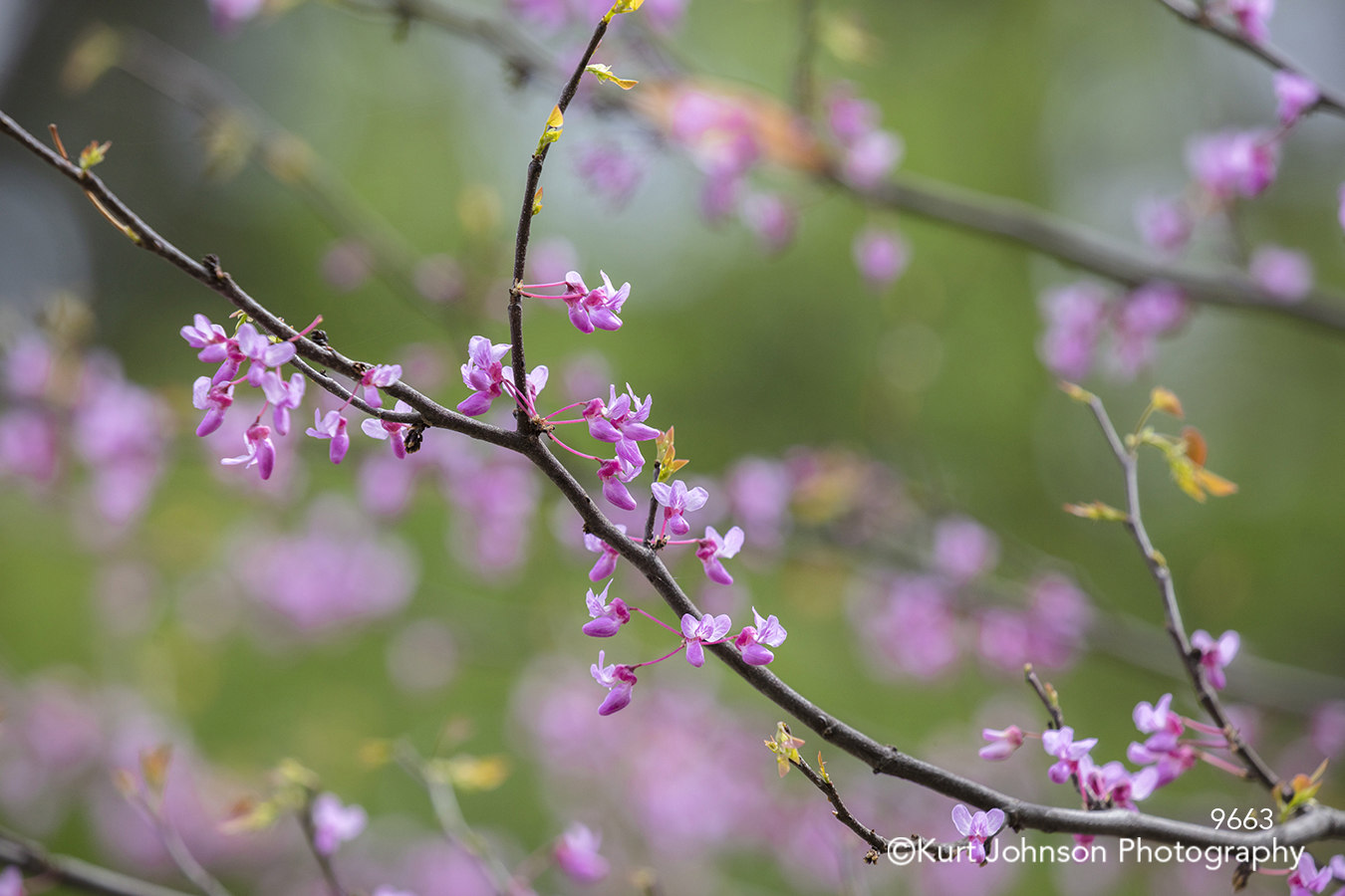 pink purple spring cherry blossom branch branches tree bloom