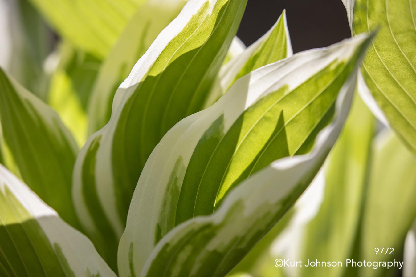 green white plant hosta shadows close up detail lines