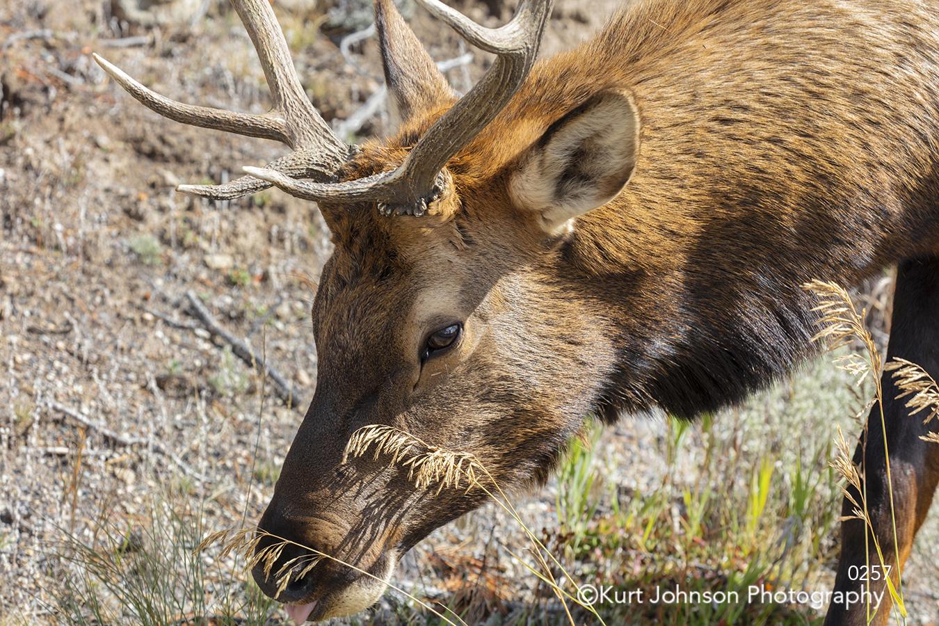 animal brown deer wildlife animals