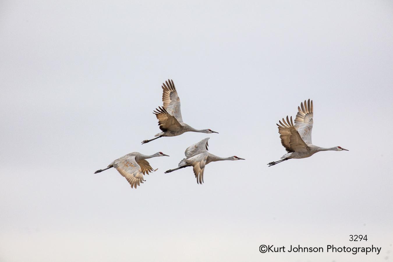 animal bird crane cranes wildlife sky children fly animals
